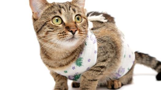 """""""surgery cat"""" """"perth cat vet"""""""