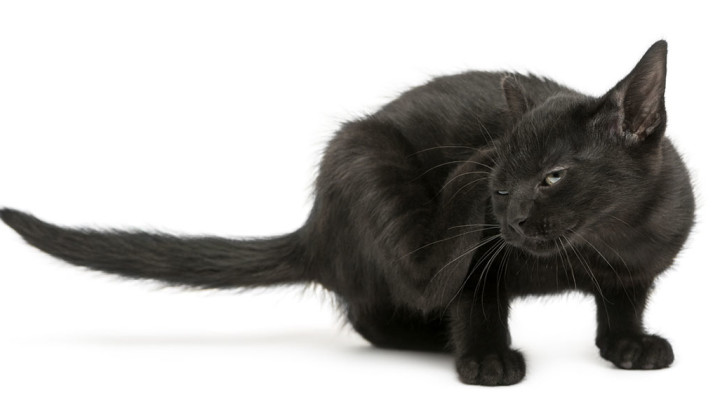 black and red cat
