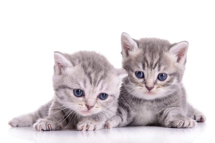 Cat Vaccinations Perth Cat Hospital Perth Cat Vets