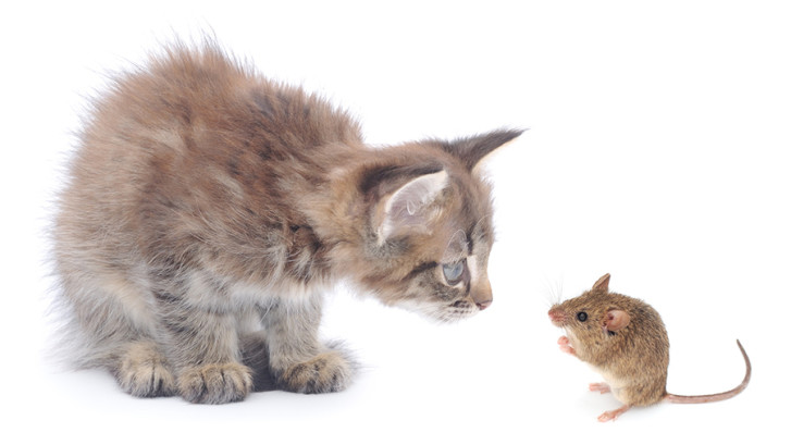 Cats Eating Mice Poisoned