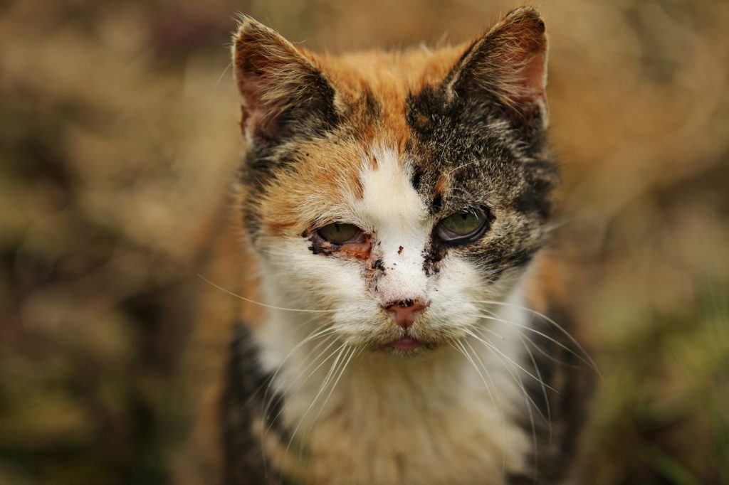 Cat Excessive Tearing One Eye